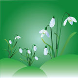 Group of snowdrops. On green background Royalty Free Stock Images