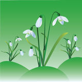 Group of snowdrops. On green background Royalty Free Stock Photography