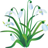 Group of snowdrops Royalty Free Stock Photo