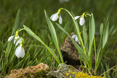 Group of snowdrops on the meadow with grass and stone Royalty Free Stock Photos