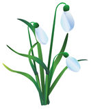 Group of snowdrops. On white background Stock Image