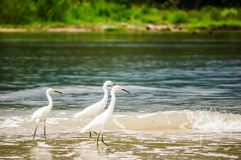 Group of snowy Egret in national park Tayrona - Colombia royalty free stock photos