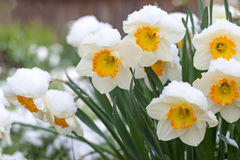 The group of the snowy narcissus flower Royalty Free Stock Photo