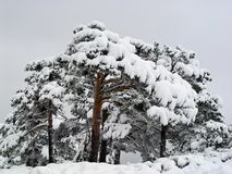 A group of snowy pines in Navacerrada, Spain Royalty Free Stock Photo