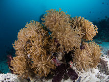 Group of soft coral. In Maldives Stock Images