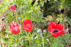 Group of some red ripe anemones Royalty Free Stock Image