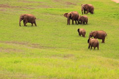 Group of south african wild elephants Stock Images