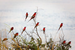 A group of Southern Carmine Bee-eaters photographed on the banks of the Zambezi River at a nesting site in Namibia. Royalty Free Stock Photos