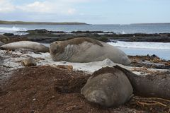 Group of Southern Elephant Seals. [Mirounga leonina] lying on a kelp strewn beach on Sea Lion Island in the Falkland Islands Royalty Free Stock Images
