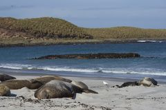 Group of Southern Elephant Seals. [Mirounga leonina] lying on a sandy beach on Sea Lion Island in the Falkland Islands Royalty Free Stock Photos