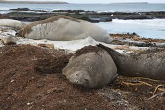 Group of Southern Elephant Seals Stock Photos