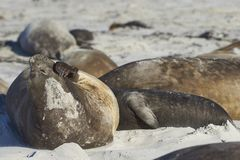 Group of Southern Elephant Seals. [Mirounga leonina] lying on a sandy beach on Sea Lion Island in the Falkland Islands Stock Photo