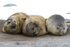 Group of southern elephant seals resting on a rock Stock Image