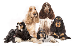 Group  Spaniels dogs Stock Photo