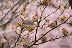Group of Sparrow birds enjoying Cherry blossoms Royalty Free Stock Images