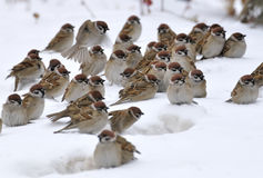 A group of sparrows