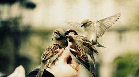 Group of sparrows birds feeding on a hand. stock images