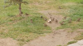 Group of sparrows eat bread on the ground. Group of sparrows eat bread on the ground in cold autumn time stock video footage