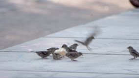 City Sparrows Eating Bread. Group Of Sparrows Eating A Piece Of Leftover Bread On A Park Bench In A Summer Sunny Afternoon In Berlin. Slow Motion Shot stock video