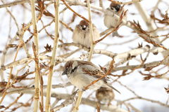 Group of sparrows sitting on a branch of a poplar Stock Photography
