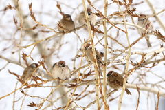 Group of sparrows sitting on a branch of a poplar Royalty Free Stock Images