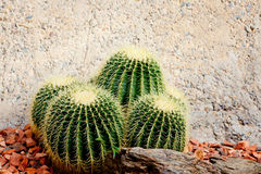 Group of spikey cactus plants against pebble and stone backgroun. D in garden Royalty Free Stock Photo