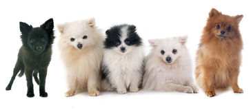 Group of spitz Royalty Free Stock Image