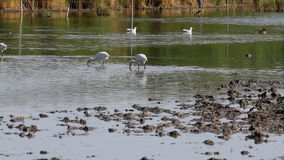 Group of spoonbill birds stock video footage