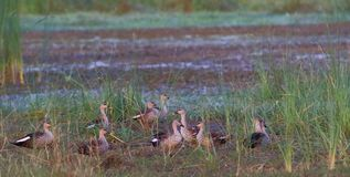 Group of spot bill duck. Spot bill duck family sitting in the green grass near pond in summer season. beautiful and natural view. this photo click at banswara stock photos