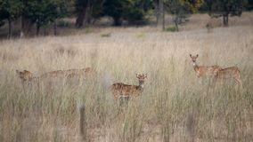 A group of spotted dears staring at camera royalty free stock photography