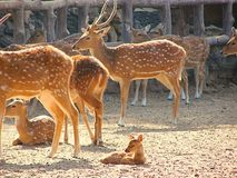 A Group of Spotted Deer Chital with a Fawn and Juveniles in Zoo, Jaipur, Rajasthan, India Royalty Free Stock Image