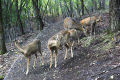 Group of spotted deer. Group of sika deer in the autumn forest Stock Photo