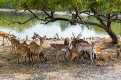 A group of spotted deer under the tree Royalty Free Stock Photography