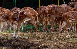 Group of spotted Deers. Gathering of spotted deer at kanha national park, Madhya Pradesh, India Royalty Free Stock Image