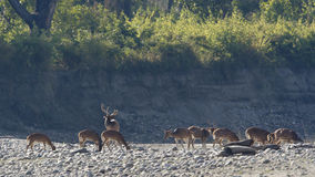 Group of spotted deers in Nepal Royalty Free Stock Images