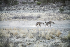 Group of spotted Hyaenas in the Kalahari Desert Royalty Free Stock Photography