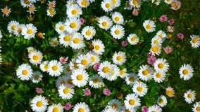 Daisies in spring stock photo