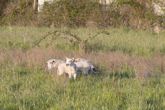 A group of spring lambs grazing in a green pasture Royalty Free Stock Photo