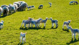 A group of Spring lambs on a sunny day. A group of Spring lambs on a sunny day in Cumbria stock photography