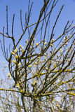 Group of spring pussy-willow branches on blue sky background.  Royalty Free Stock Photo