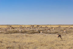 A group of springbok antelopes eating grass in Etosha national park – Namibia / Africa Stock Images
