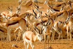 Group of Springbok Stock Photography