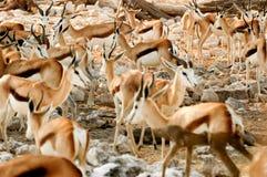 Group of Springbok in Etosha Royalty Free Stock Photography