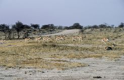 Springboks in Etosha National Park, Namibia. A group of Springboks Antidorcas marsupialis near the pan in Etosha National Park, Namibia Royalty Free Stock Photography
