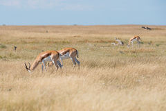 A group of Springboks. In the Etosha national park in Namibia Royalty Free Stock Photos