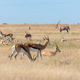 A group of Springboks. And Oryx in the Etosha national park in Namibia Stock Photography