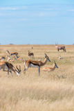 A group of Springboks. And Oryx in the Etosha national park in Namibia Stock Images