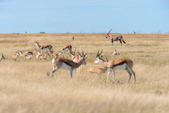 A group of Springboks. And Oryx in the Etosha national park in Namibia Royalty Free Stock Photo