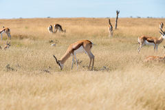 A group of Springboks. And Oryx in the Etosha national park in Namibia Royalty Free Stock Photography