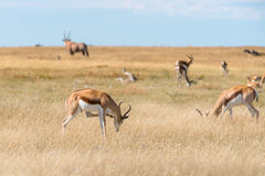 A group of Springboks. And Oryx in the Etosha national park in Namibia Royalty Free Stock Image